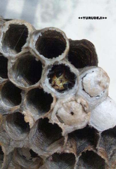 yurudeji_蜂の巣
