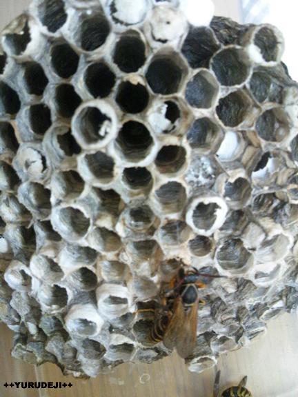 yurudeji_蜂の巣1