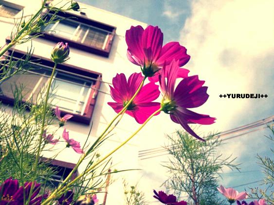 yurudeji_アパートとコスモス