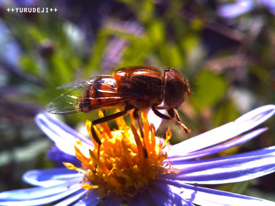yurudeji_花とミツバチ