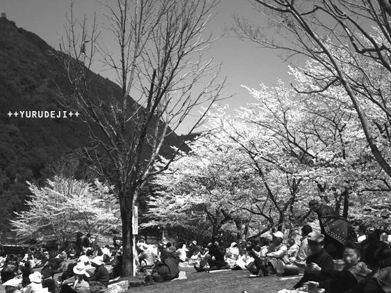 yurudeji_桜祭り