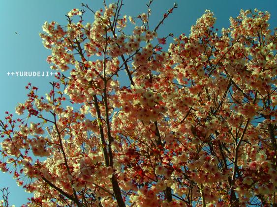 yurudeji_桜祭りa