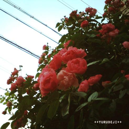 yurudeji_薔薇