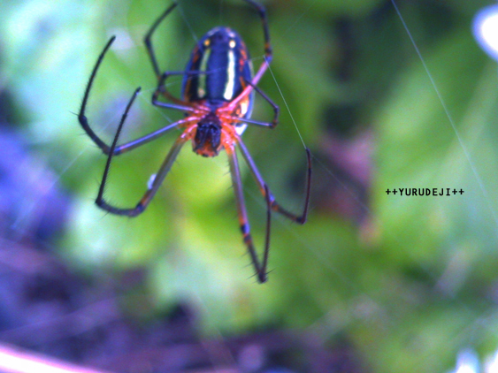 yurudeji_蜘蛛
