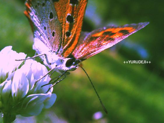 yurudeji_クローバーと蝶