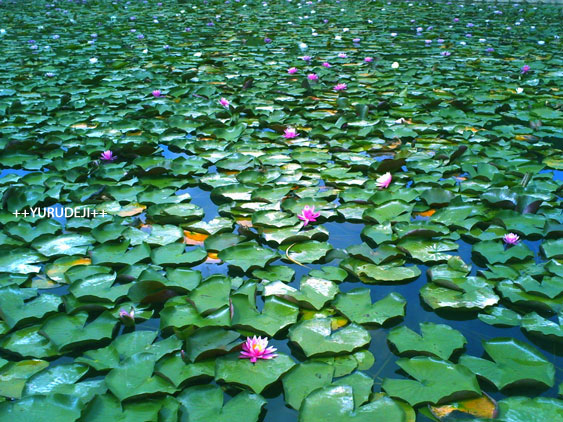 yurudeji_蓮の花