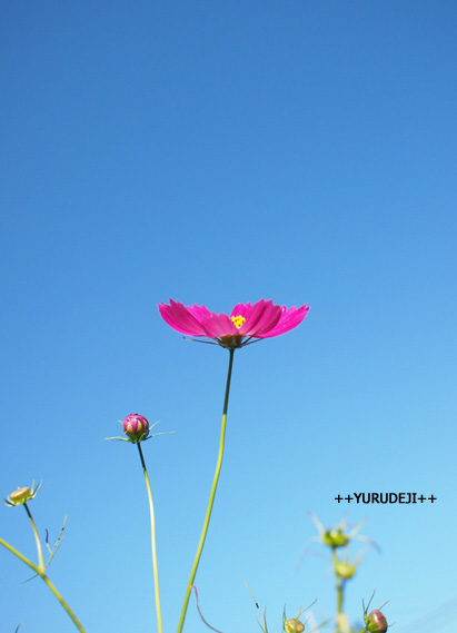 yurudeji_コスモスa