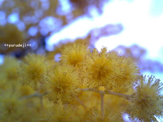 yurudeji_黄色い花