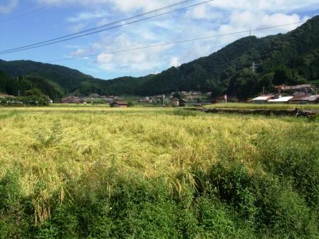 稲刈り体験-15