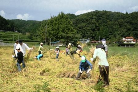 稲刈り体験-12
