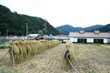 稲刈り体験-18