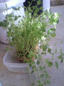 リサイクル豆菜