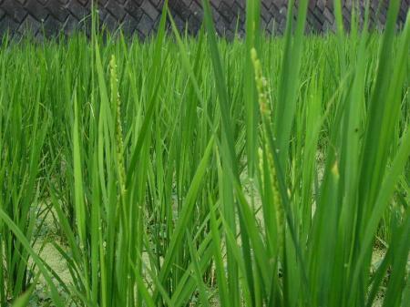 稲の出穂10・8・3・2_convert_20100803230423