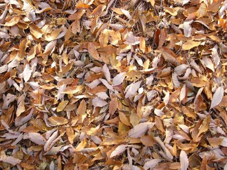 落ち葉のじゅうたん3_convert_20101118224023