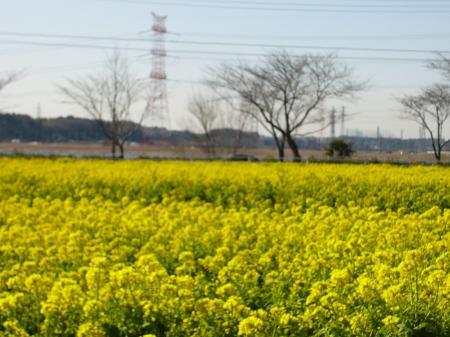 菜の花_convert_20110309232037