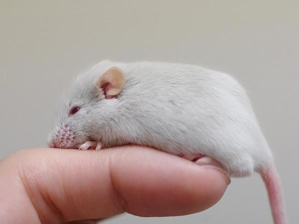 130203ファンシーマウス