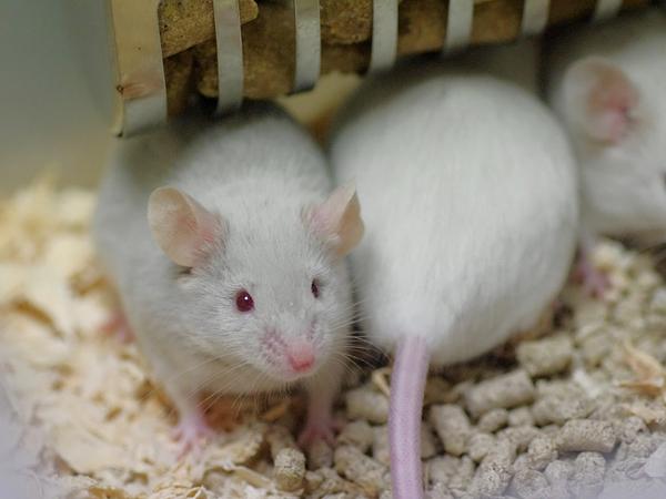 130316ファンシーマウス