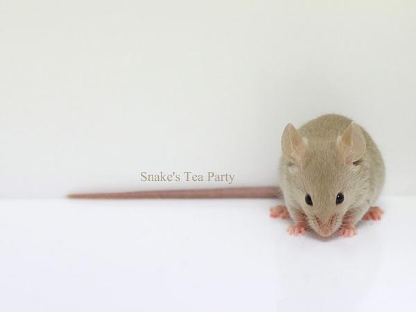 120203ファンシーマウス