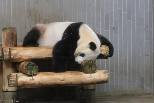 パンダ 動物園
