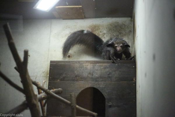 アイアイ 日本 動物園