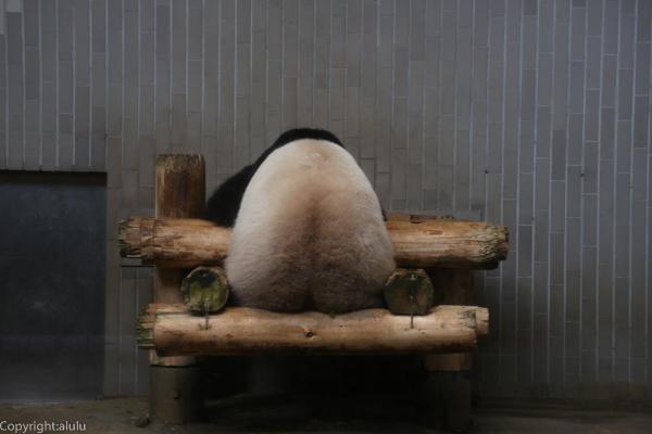 ジャイアントパンダ 上野動物園