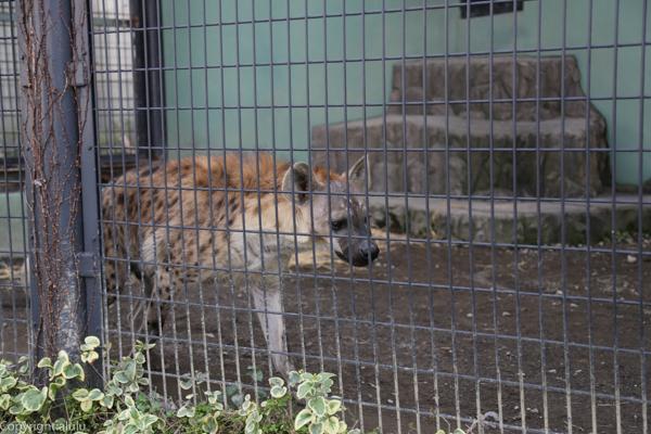 ハイエナ 日本平動物園