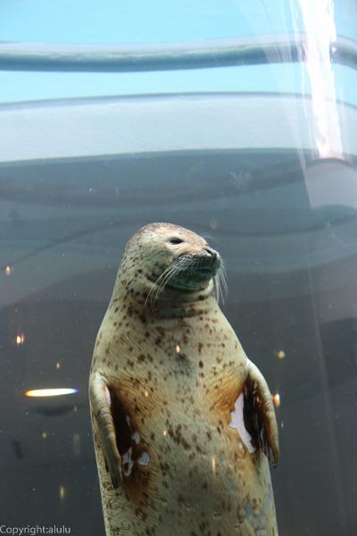 ゴマフアザラシ 日本平動物園