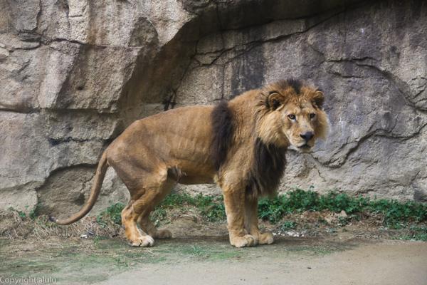 日本平動物園 猛獣館 ライオン