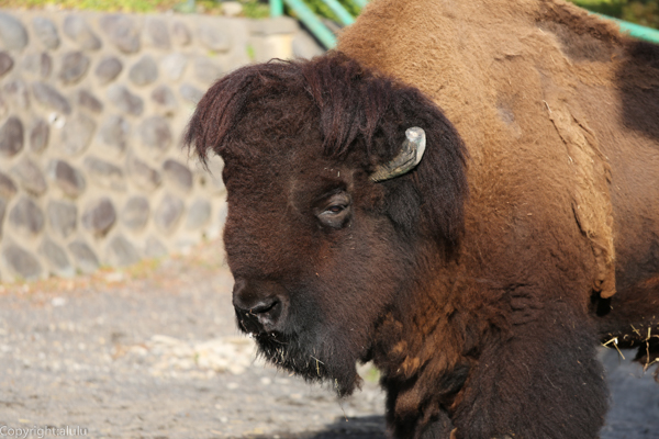 アメリカバイソン 動物写真