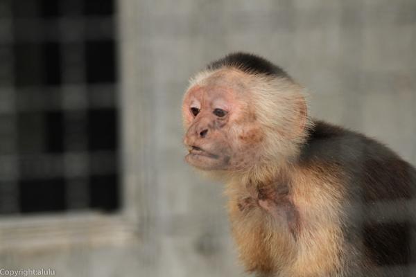 ノドジロオマキザル 大森山動物園