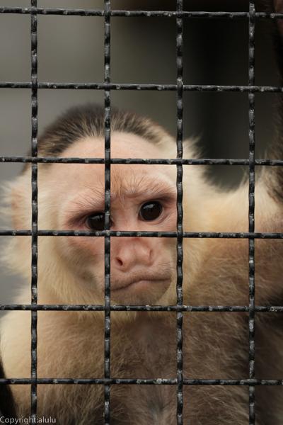 ノドジロオマキザル 動物写真