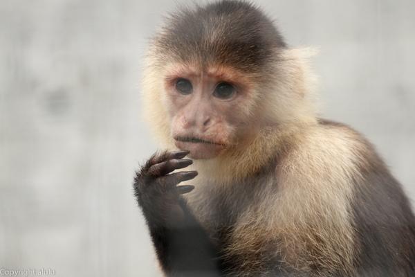 ノドジロオマキザル 動物園