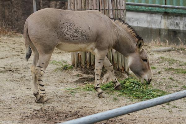 ソマリノロバ 東山動植物園