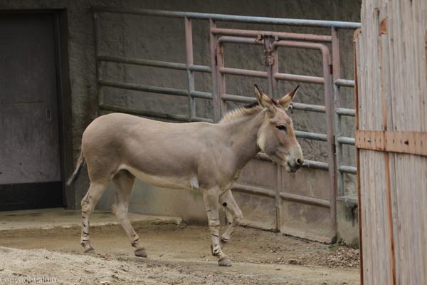 ソマリノロバ 東山動物園