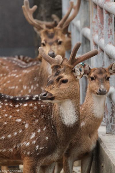 世界で一番美しいシカ 東山動物園