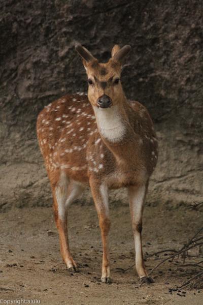 アクシスジカ 東山動植物園