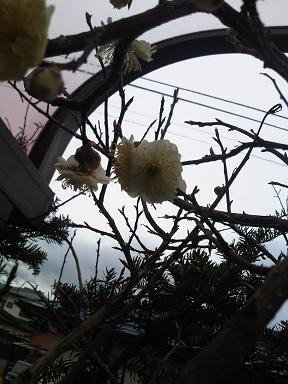 H24小梅開花