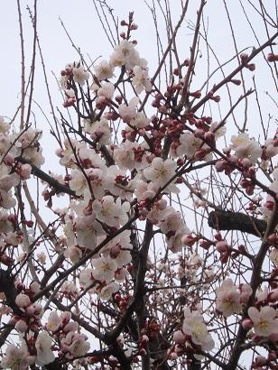 H24梅は咲いたか