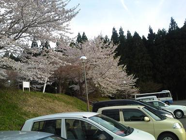 ぽんぽこの湯桜満開