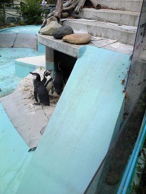 やんちゃな脱走ペンギン