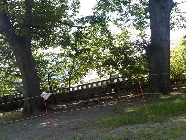 八幡公園の大欅