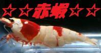 ☆☆赤蝦☆☆