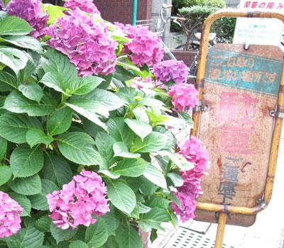 心斎橋のアジサイの花