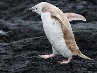 blondalbinopenguin400x303金色ペンギン