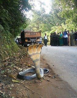 snake three head