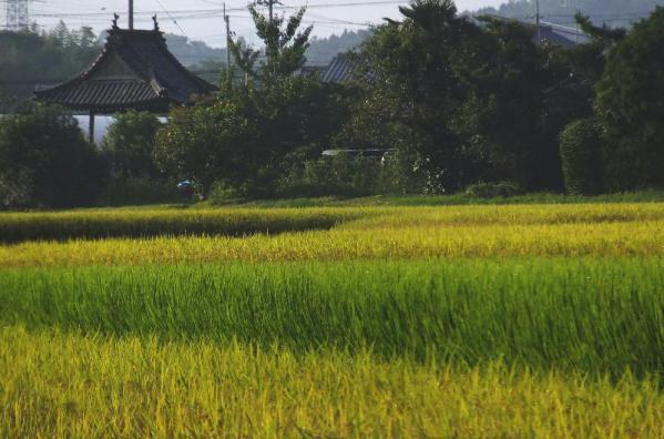 早生と晩生の田圃