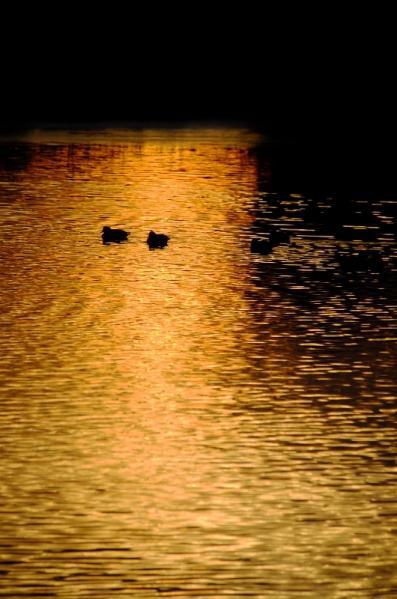 鴨の居る朝03