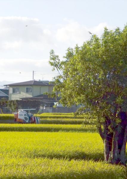 早生稲刈り05