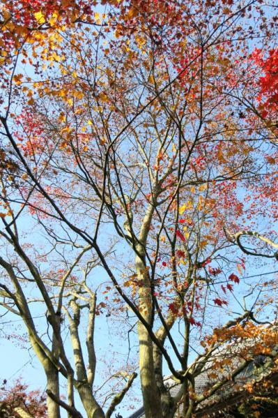 紅葉の主木