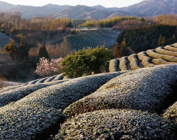 降霜の茶畑